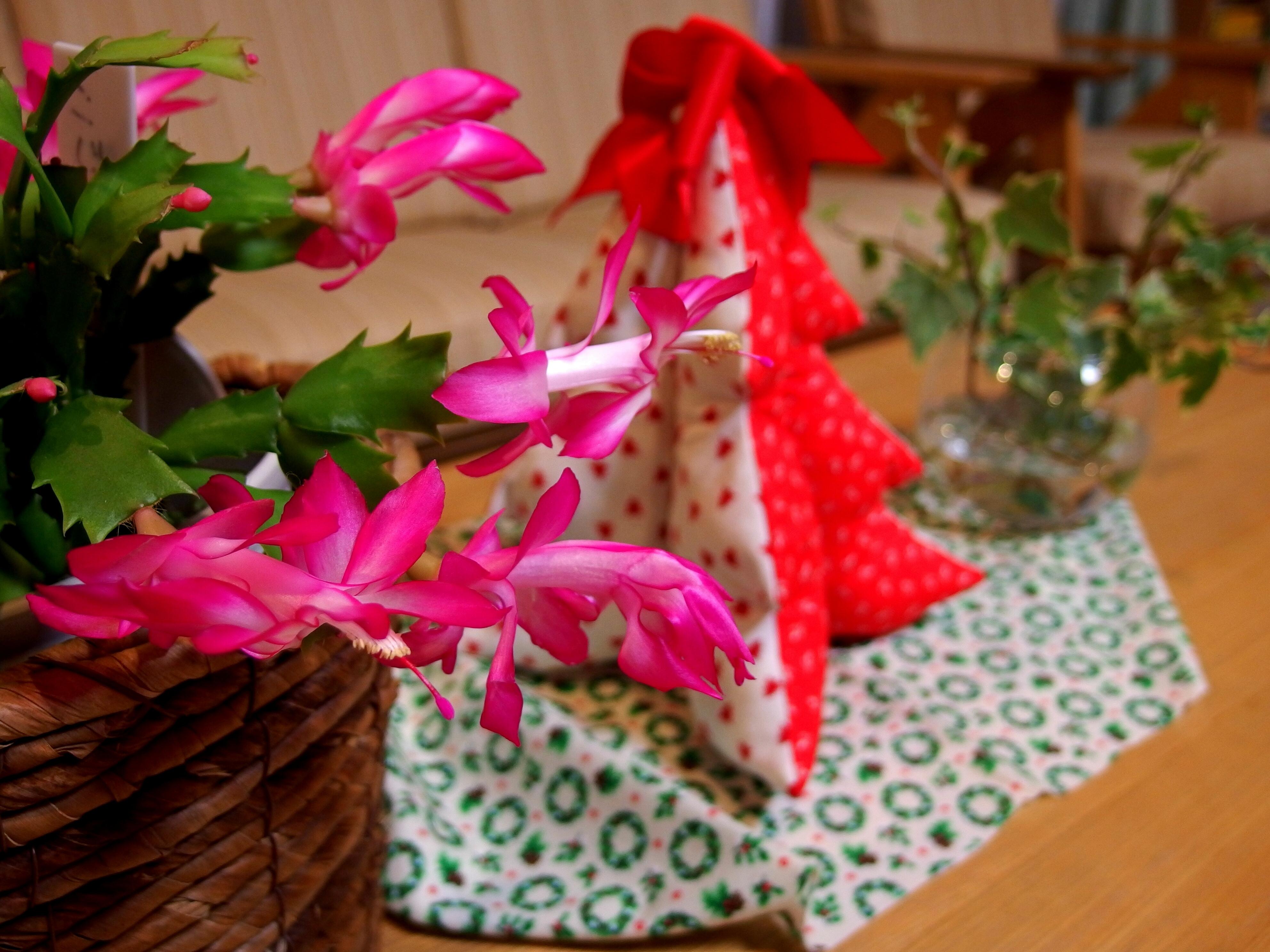 Xmasとサボテンの花